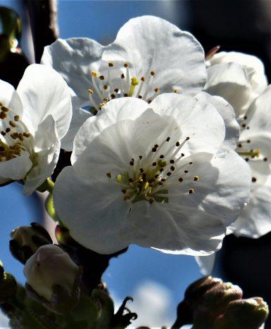 """Anonimo Giapponese: """"Due ciliegi innamorati"""""""